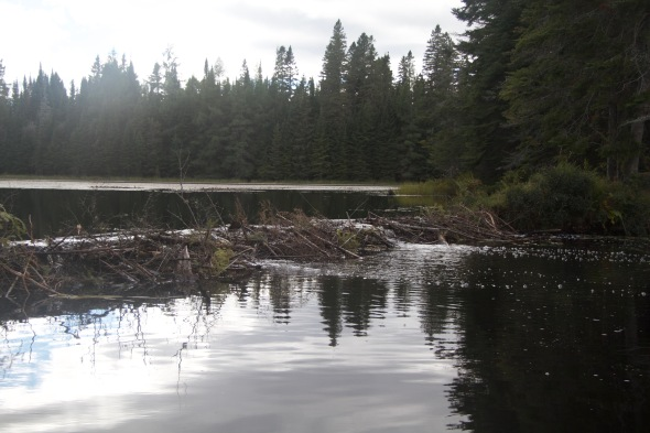 Beaver dam blocks the creek and raises water levels behind
