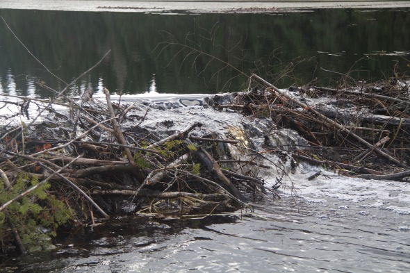 The beavers used everything they could lay their paws on for this substantial structure.